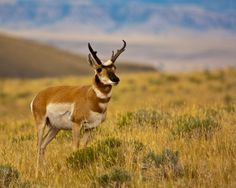 pronghorn -- usually just called antelope -- photographed by Mark O'Loughlen near Meteetsee, Wyoming.