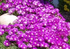"""Ice plant Table Mountain"""