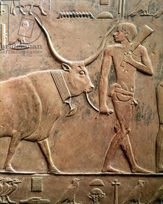 Relief depicting a peasant leading a cow to sacrifice, from the Mastab of Ptah-Hotep and Akhti-Hotep, Old Kingdom (limestone) Title: Egyptian 5th Dynasty (c.2494-2345 BC) Primary creator: Egyptian Nationality: Saqqara, Egypt Location: Giraudon Credit: