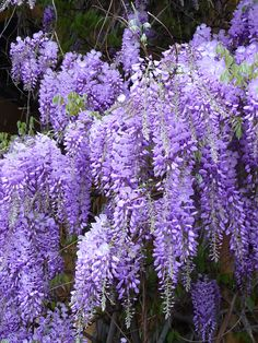 I planted one of these beauties in my in my front yard, I love Chinese Wisterias they are wonderful!