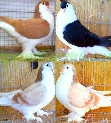 If you're looking for Pigeons for Sale then Pigeon Farms is the right choice for you. All Pigeon Breeds are available for sale. Pigeon Cage, Pigeon Bird, Pigeon Pictures, Bird Pictures, Beautiful Birds, Animals Beautiful, Beautiful Creatures, Racing Pigeons For Sale, Lahore Pigeon