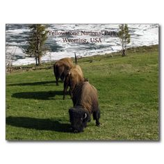 Yellowstone National Park Postcards Bison Winter SOLD on Zazzle