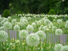 These would be amazing as large grouping landscaping. Giant White Allium