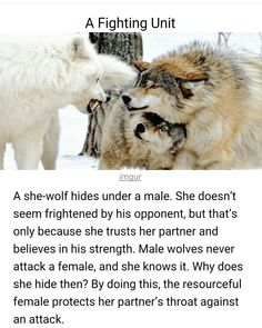 Wolf - Wildlife - # She-wolf - she-wolf - wildlife - # Wolf - Amazing Animals, Animals Beautiful, Cute Funny Animals, Funny Cute, Animals And Pets, Baby Animals, Wolf Quotes, Wolf Pack Quotes, Loner Quotes