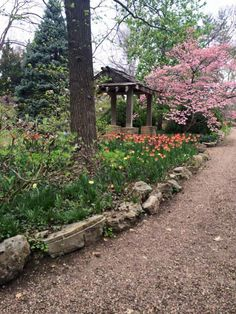 Tulips and dogwood - Photo by CS Lent April 2015