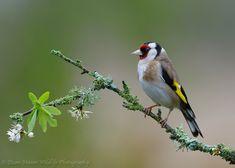 Goldfinch on Sloe Blossom - Goldfinch on Sloe Blossom