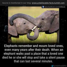 Elephants remember and mourn loved ones, even many years after their death. When an elephant walks past a place that a loved one died he or she will stop and take a silent pause that can last several minutes. While standing over the remains, the elephant may touch the bones of the dead elephant (not the bones of any other species), smelling them, turning them over and caressing the bones with their trunk.