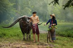 Handsome buffalo with Thai culture,Thailand - Handsome and beautiful woman thai traditional culture with buffalo,Thailand