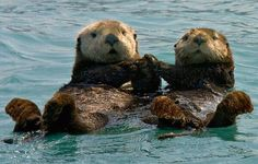 Fun Fact: Otters Hold Hands While The're Sleeping To Make Sure They Don't Drift Apart (awwwwwwwwww)