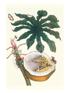 Papaya with Caterpillar, Pupa and Butterfly of the Metalmark Family and a Moth on the Fruit Art Print by Maria Sibylla Merian at Art.com