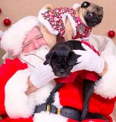 Perfect representation of how Pugs treat their humans - even Santa!!!