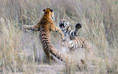 Two adolescent tigers clash in a display of sibling rivalry. The picture was taken by Archna Singh inside the Bandhavgarh National Park, Mad...