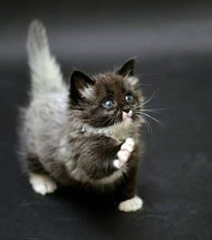 Cute Kittens Hd Cute Black And White Cats And Kittens Gato Munchkin, Cute Kittens, Kittens Meowing, Ragdoll Cats, Baby Kittens, Bengal Cats, Cute Baby Animals, Funny Animals, Animals And Pets