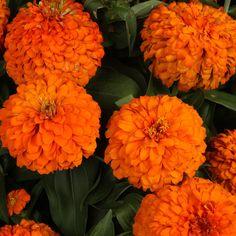 250 Zinnia Magellan Orange Live Plants Plugs Home Garden Patio Planters 103  #Zinnia