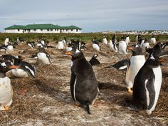Sea Lion Island, Falkland Islands  Despite the name, it isn't sea lions you should look out for here: A rookery of Gentoo penguins has been known to set up camp next to Sea Lion Lodge, a cozy 3-star hotel in the Falkland Islands. Aside from penguin spotting, the lodge offers expansive views of the South Atlantic Ocean where nothing but water separates you from Antarctica.