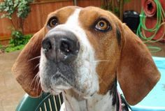 Treeing Walker Coonhound, who can resist that face