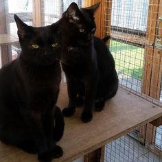 Shadow and Inky have grown up fast. They are both still looking for their new home. Even though they have been with us a while they are being overlooked by the younger kittens. They are still young themselves haven't reached one years old yet. Could you have a home for them #yorkshire  #adoptdontshop #blackcats #animal #shelter #charity