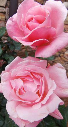 """Queen Elizabeth' pale pink roses"