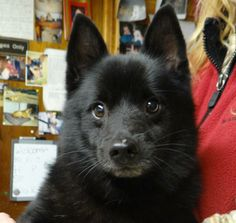 DillyDilly  Schipperke • Adult • Male • Small  H.E.L.P Shelter Dog Rescue Waupaca, WI