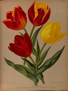 Tulipa hort.- circa 1881