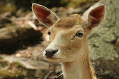 Photograph Fallow deer ❖ Daim by Lucie Gagnon on 500px