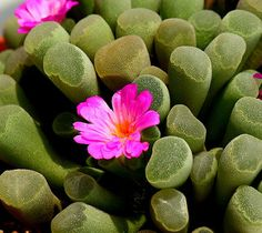 Frithia pulchra in bloom