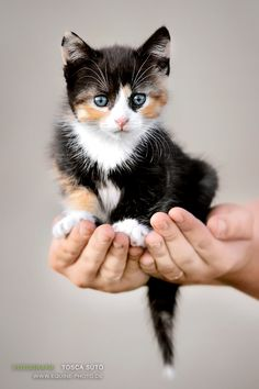 Stunning Calico Kitten