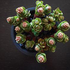succulent crassula