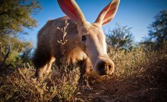A is for Aardvark. This one hangs about the staff quarters at Samara Private Game Reserve near Graaff-Reinet.