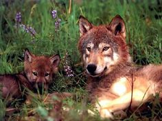 Wolves: Free Wolf Photos, Wallpaper, Desktops & More