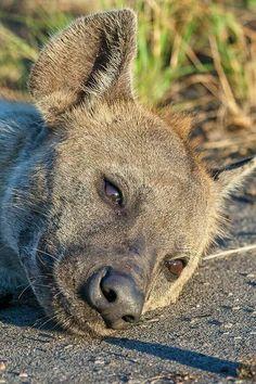 Nursing hyena with two pups