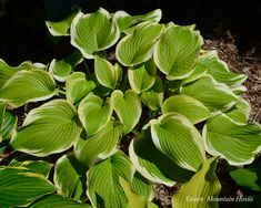 Lakeside April Snow Hosta - large