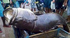 Pescador colombiano captura un mero de 150 kilos, más del triple del peso que alcanzan los ejemplares más grandes.