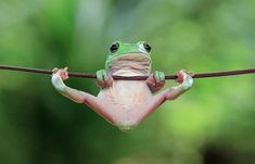 With frog photos taken by Indonesian photographer Tanto Yensen . - With the frog photos taken by Indonesian photographer Tanto Yensen, we see, - Funny Frogs, Cute Frogs, Cute Baby Animals, Animals And Pets, Funny Animals, Wild Animals, Animals Photos, Beautiful Creatures, Animals Beautiful