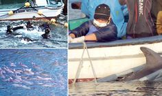 Cruel Japanese fishermen pick 25 dolphins for aquarium life from a captive pod of 250 as remainder face 'mass slaughter'