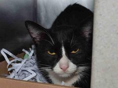TREY - A1048569 - - Brooklyn **TO BE DESTROYED 08/28/15** Trey is a lively young dude who needs a NEW HOPE rescue to save his life, tonight! This handsome kitten can tell the ACC are dangerous to him, so he has not exactly gone out of his way to suck up to his captors. Naturally, they slapped him with a New Hope rating and then shoved him onto tonight's crowded euth list. Trey is in great shape health-wise and is probably someone's lost, moderately freaked-out