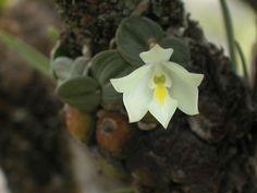 Orchidaceae   Constantia cipoensis