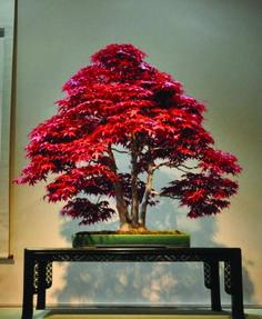 Acer Maple Bonsai in Omiya