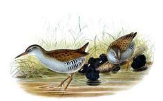 Râle d'eau - Rallus aquaticus