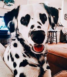 Dalmatian with heart eyes 😍😍 Via Charlene Brown.dalmatian via… Dalmatiner mit Herzaugen 😍😍 Via Charlene Brown. Cute Funny Animals, Cute Baby Animals, Animals And Pets, Funny Looking Animals, Funniest Animals, Cute Baby Dogs, Cute Dogs And Puppies, I Love Dogs, Doggies