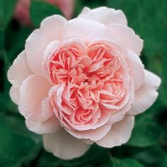 Kathryn Morley - David Austin Roses