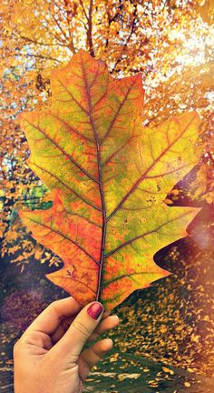 #autumncolors #redoak 🍁