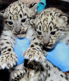 A zookeeper holds snow leopard cubs, one male and one female, at Zoo Boise in Boise, Idaho. These are the first snow leopards ever born at the zoo. They're adorable!