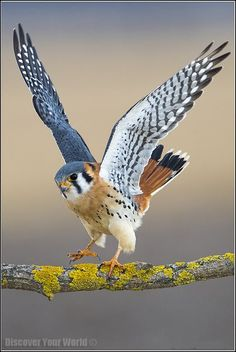 American Kestrel #9 Date: 1996 Location: Alamogordo NM
