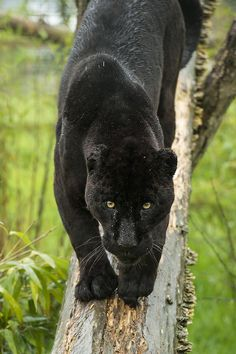 Photograph Black Jaguar Series by Colin Langford on Beautiful Cats, Animals Beautiful, Cute Baby Animals, Funny Animals, Wild Animals, Black Panthers, Interesting Animals, Black Jaguar, Majestic Animals