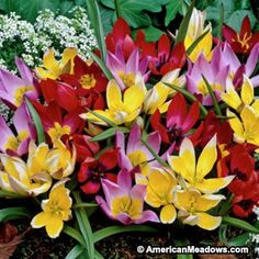Wildflower Tulip Bulb Mix | Annie's planting notes: 8 bulbs, butterfly garden, planted 11/1/15