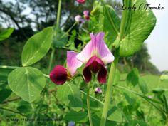 Motorshuti Flower (মটরশুটি ফুল) - Green Pea - Pisum Sativum