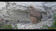 VolgdeOehoe  Mei - 04 - 2013 - 07.57 uur Laatste kuiken verlaat definiti... Mei, Animals, Animales, Animaux, Animal, Animais
