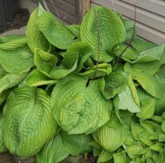 Árnyékliliom Hosta Sum and Substance Plant Leaves, Garden, Plants, Garten, Lawn And Garden, Gardens, Plant, Gardening, Tuin