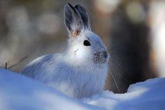 snowshoe hare // canada